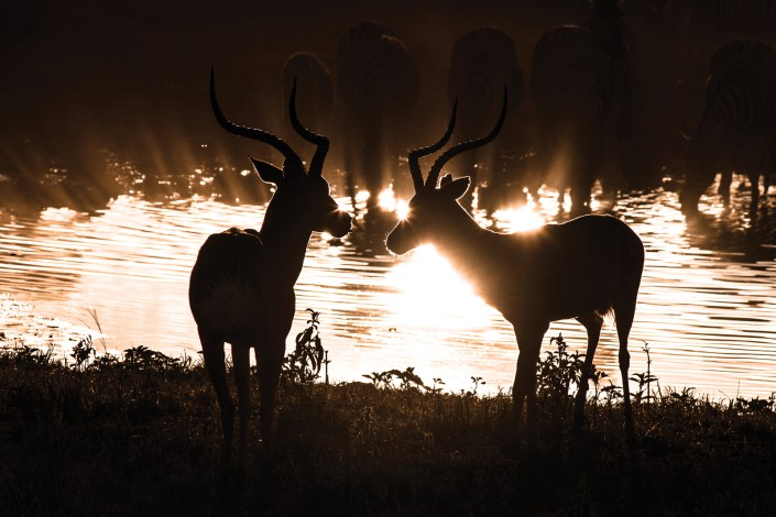 two antelopes are silhouetted in the reflections of the afternoon light bouncing off a watering hole.