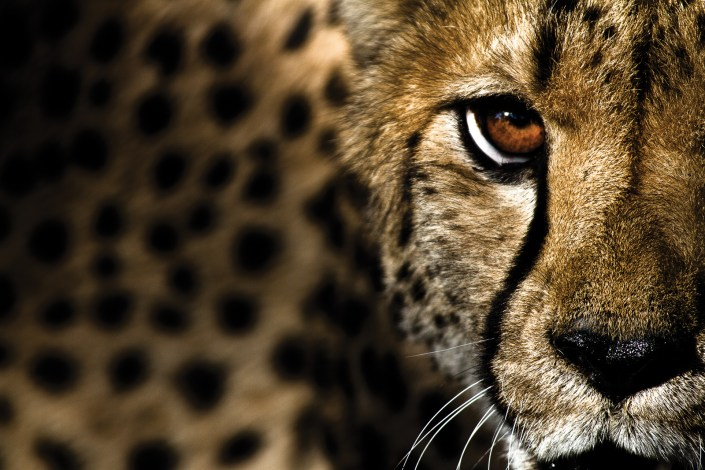 A cheetah looks directly into the camera