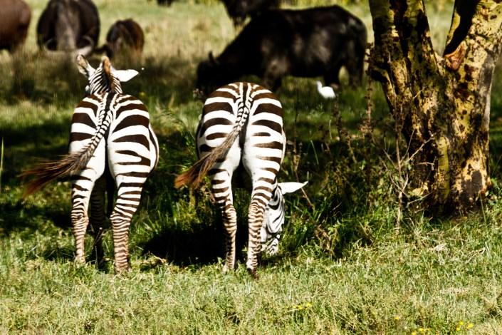 two zebra graze in the shadows in the masai mara