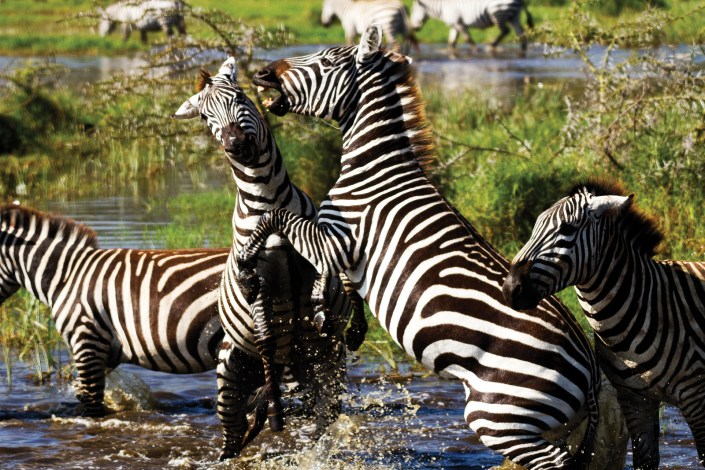 two zebra fight in the waters of a nature reserve in Kenya