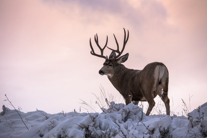 a mule deer stands on a ridge in thick snow