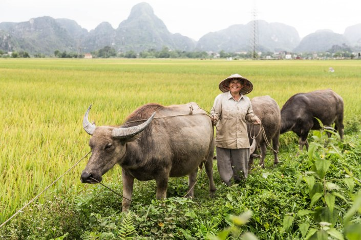 A local lady stands in rice paddies with her water buffalo