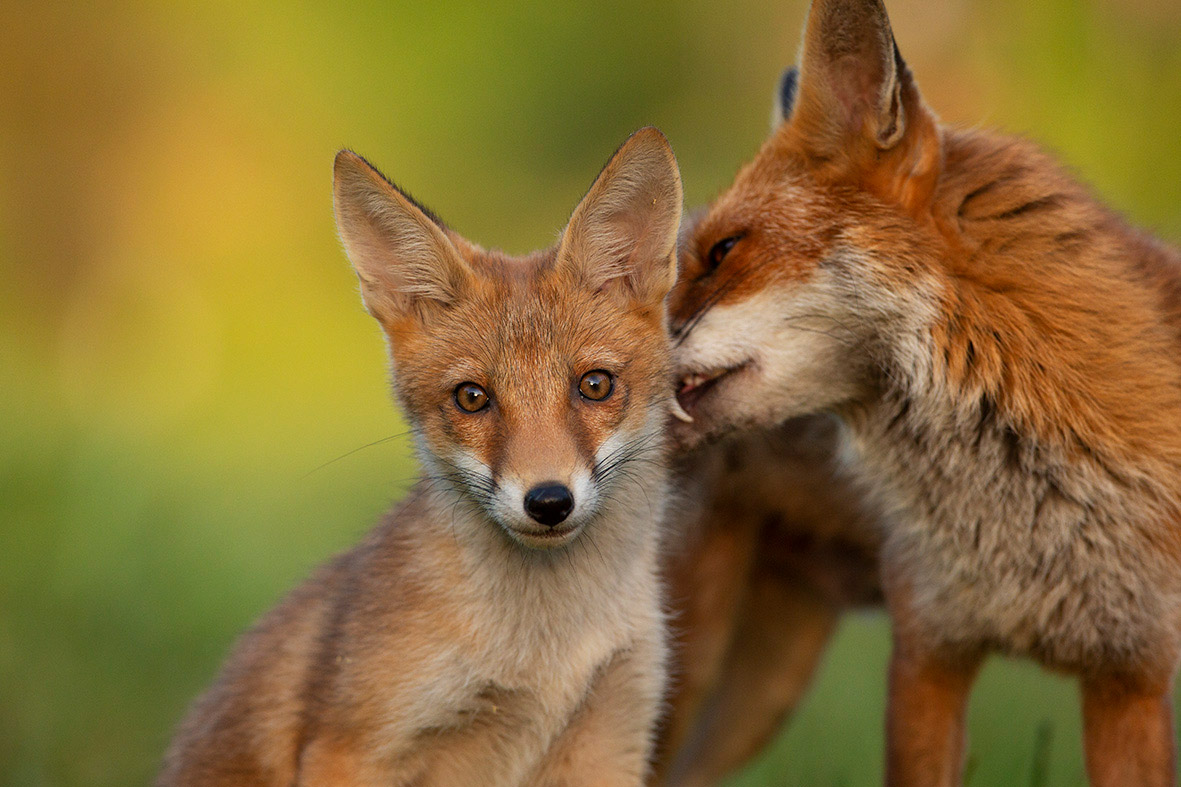 Have You Seen My New Gallery Of Foxes Award Winning Wildlife Photographer Matthew Maran