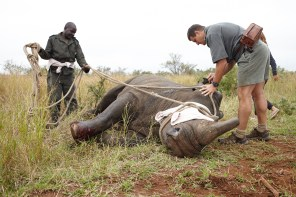 Markus Hofmeyr, head of the park's Veterinary Wildlife Services, treats a wounded rhino. The male -- who weighed about 1.5 tonnes -- was shot in the back, with the bullet going straight through him. Luckily, it didn't hit any organs, and he would have been fine even without the treatment. PICTURE: Ravi Gajjar