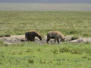 A couple of hyena getting what little water they can from a watering hole.