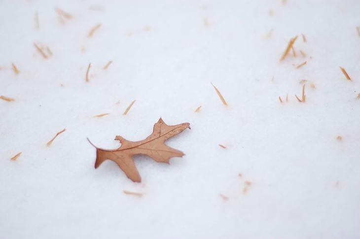 Oak leaf in the Snow