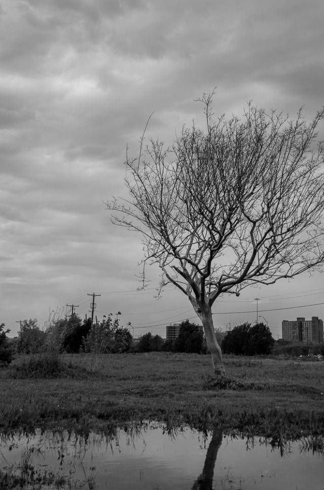 A dead tree in Arlington, TX