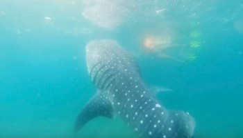 Swimming with Whale Sharks in La Paz, Mexico