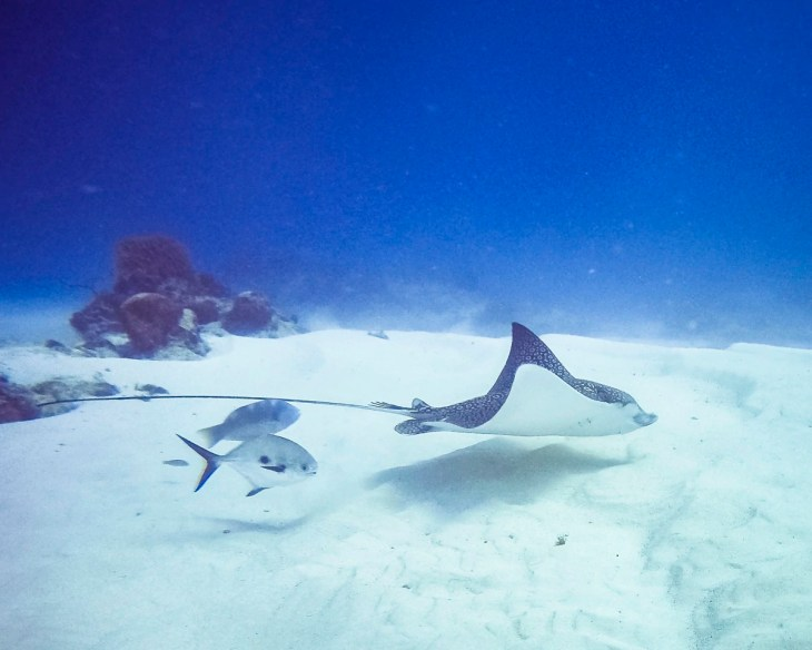 Spotted Eagle Ray in Cozumel, Mexico