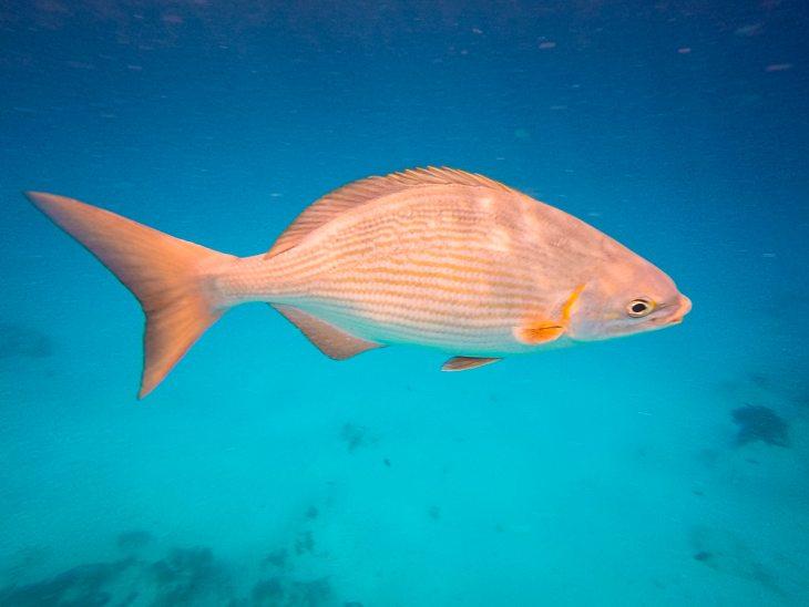 a grunt fish in Cozumel