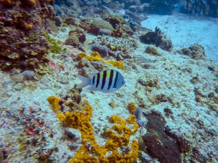 Sergeant major fish in Cozumel