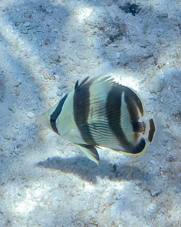 Banded Butterflyfish in Curacao