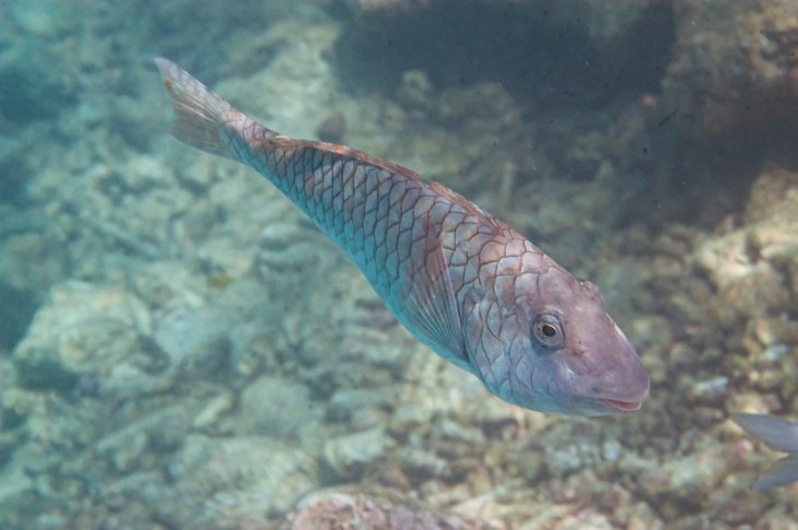 Redtail Parrotfish in Curacao