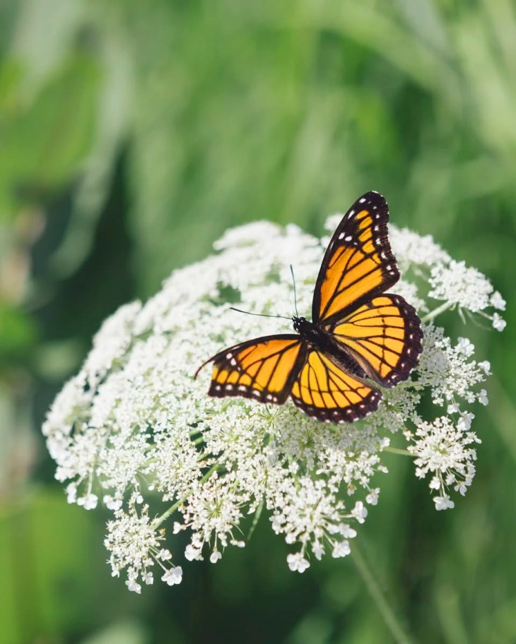 A Viceroy butterfly on a wild carrot flower in Michigan