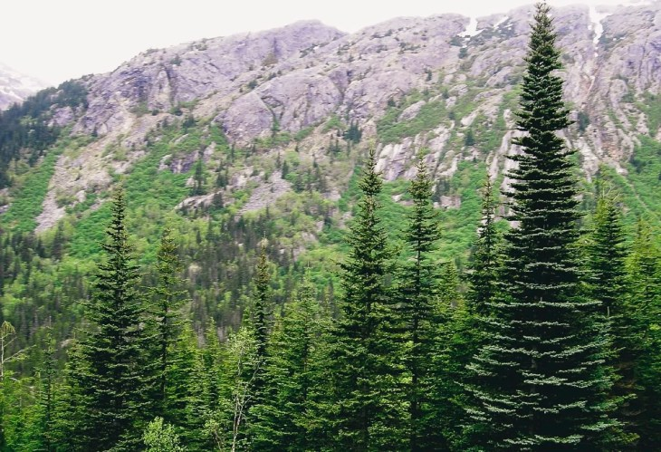 Trees in the Alaskan mountains