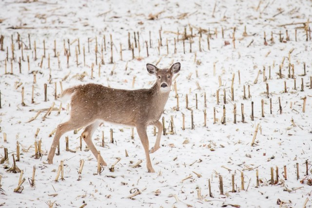 A doe in the snow