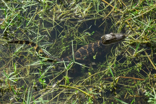 A baby alligator in the Everglades