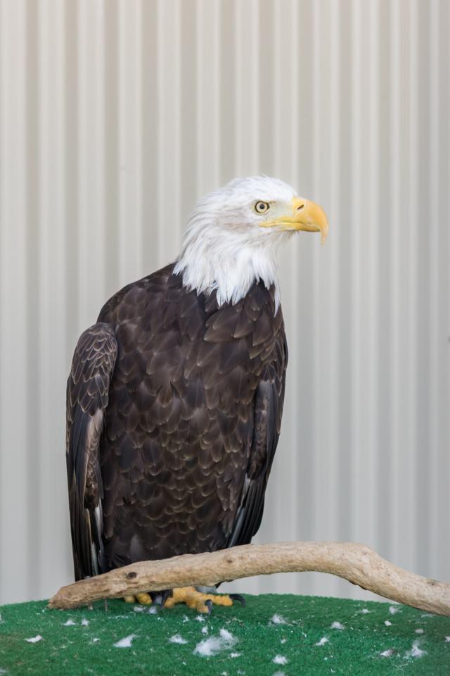 A beautiful rescued bald eagle at the De Witt Birds of Prey Center