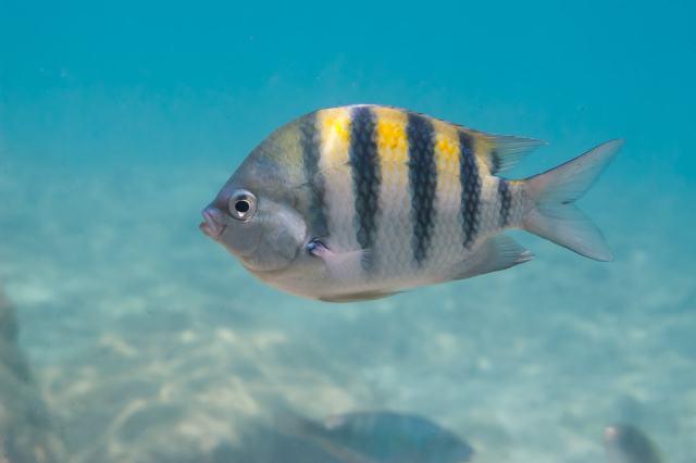 A Sergeant major fish (Abudefduf saxatilis) in the Caribbean Sea