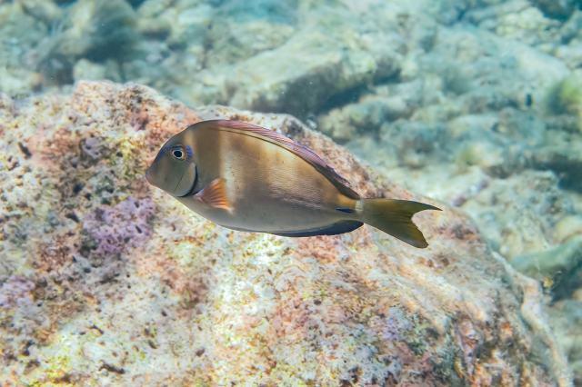 Doctorfish tang (Acanthurus chirurgus) in Curacao