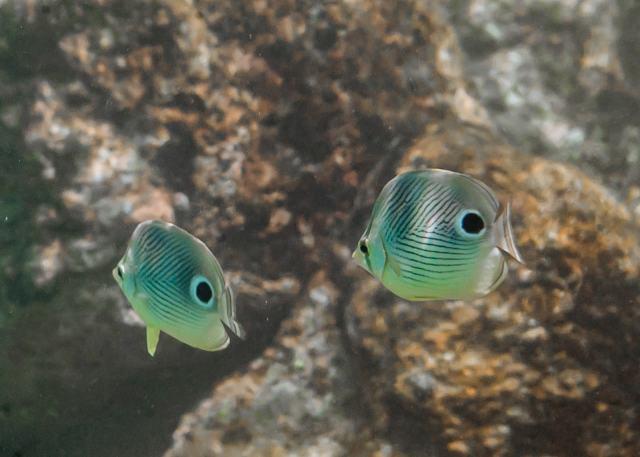 Foureye butterflyfish Foureye butterflyfish (Chaetodon capistratus) in the Caribbean Sea, Underwater Photography