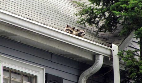 Juvenile raccoons in the gutter of a home.