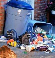 Raccoons searching through a garbage can.