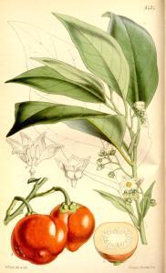 Die Menschenfressertomate gezeichnet von William Jackson Hooker für das Curtis's botanical magazine (vol. 90 ser. 3 nr. 20 tabl. 5424 von 1864)