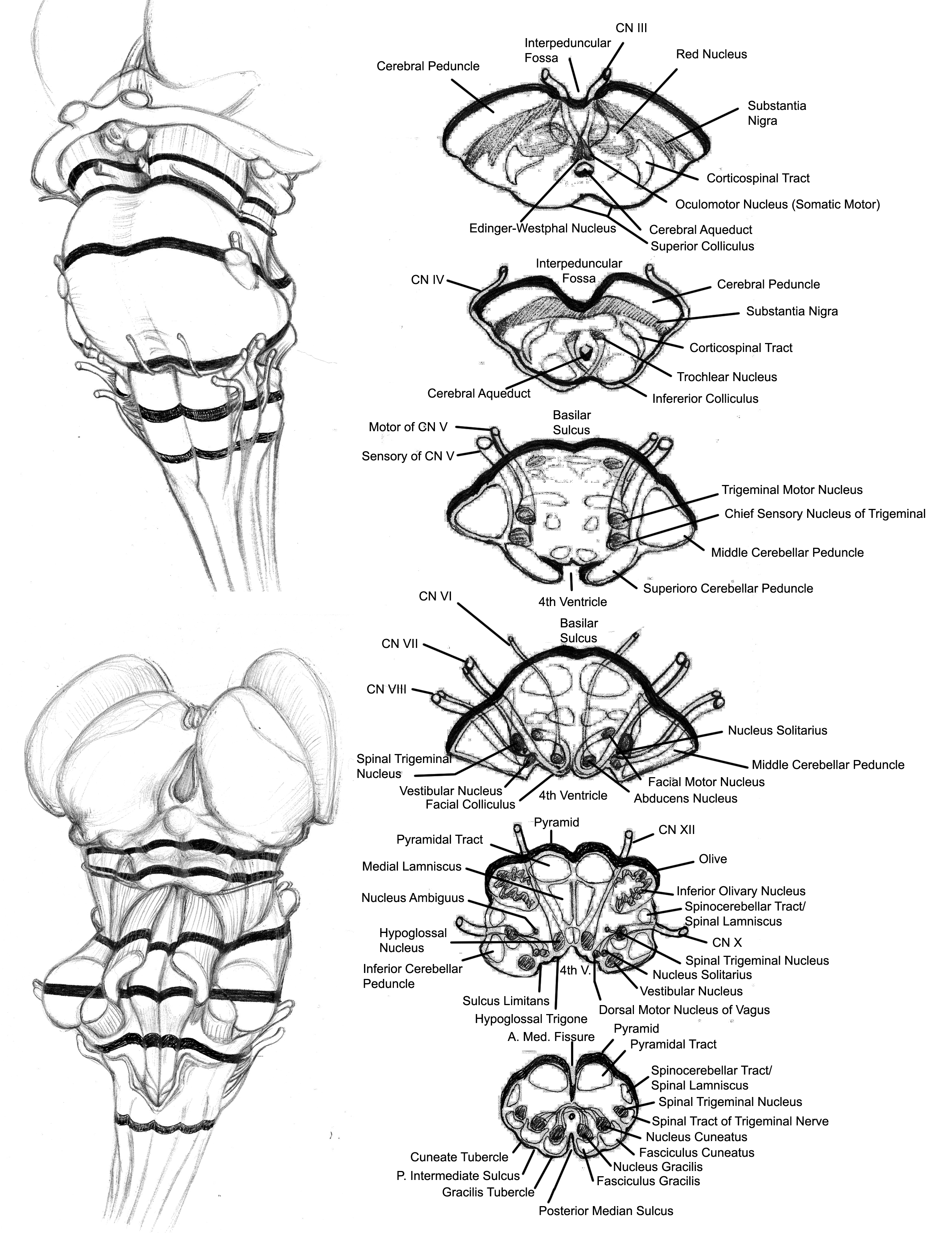 Brainstem Sections Labelled