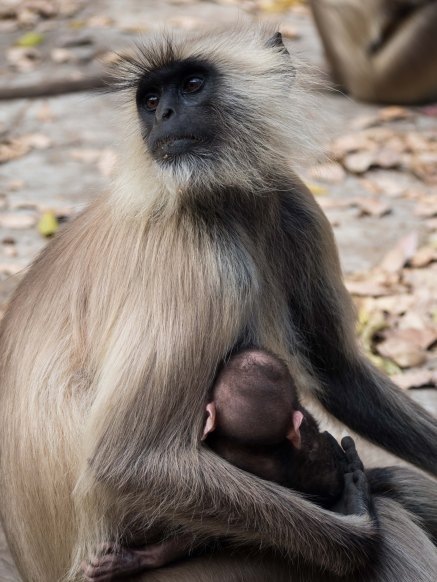 Very cute baby monkey, Ranthambore NP