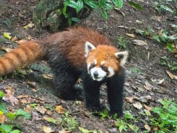 Red panda on the move