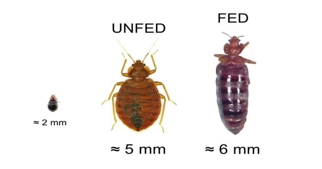 With a tiny shape, a bed bug can bite and infect you