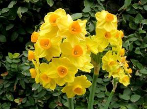 Smyrna, GA Jonquil flowers