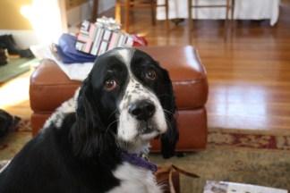 Abby on Christmas day 2008