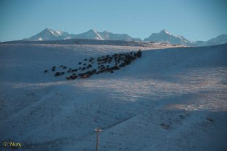 Mountain range on the horizon - below some cows are searching for some grazing grounds free of snow.