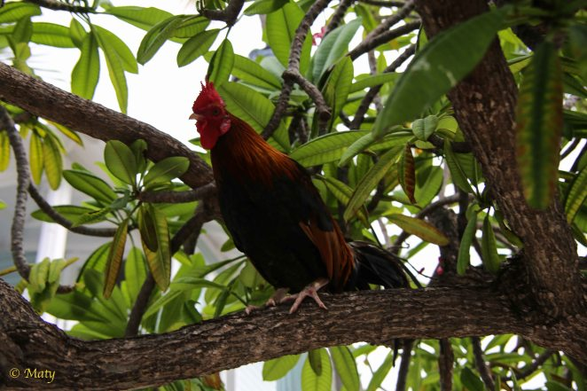 Roosters - these guys are everywhere...