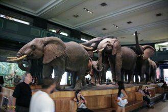 African Elephants in full glory