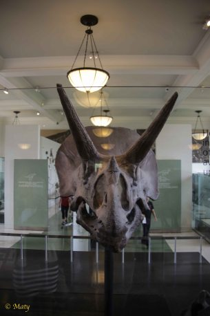 Triceratops - some Jurassic Park for you