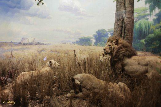African Mammals - Lions