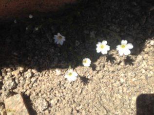 Alpine flowers - the Edelweiss!