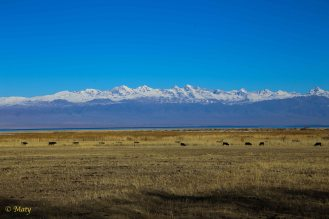 Lake Issyk Kul and some cows