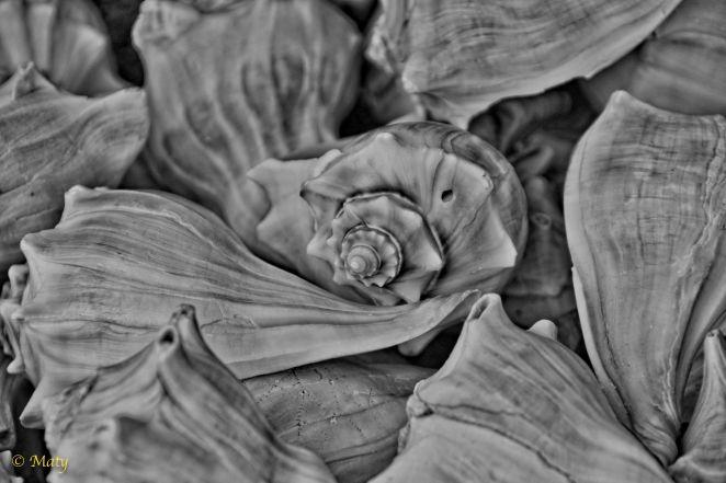 Seashell - black and white
