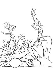 13_tulip_mm