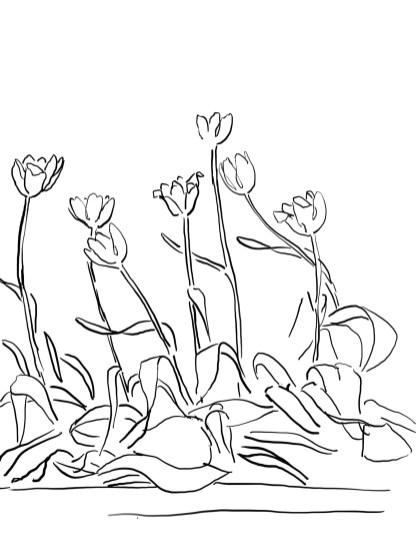 17_tulip_mm