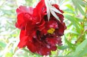 rose peony