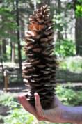 pine xxl