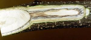 Fusarium(oxysporum f.sp.)perniciosum_twig