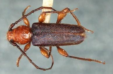 Brown_fir_longhorned_beetle