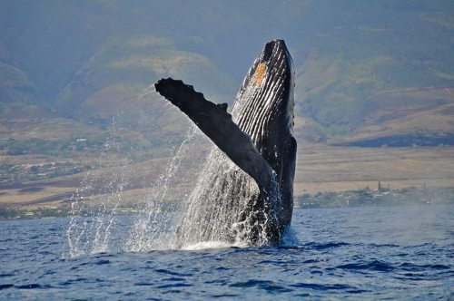 Humpback whale watching tours off the west coast of Maui
