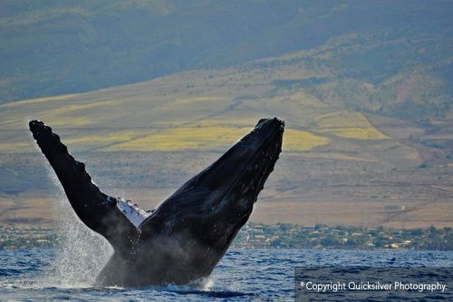Whale Watching Aboard the Quicksilver Sunset Dinner Cruise